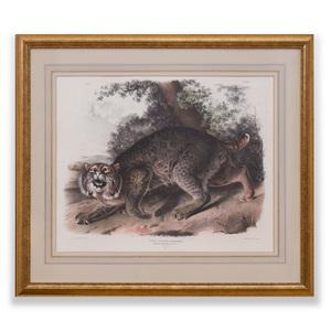 John James Audubon (1785-1851): Common American Wild Cat