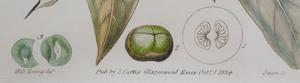 English School: Curtis Botanical Magazine : Six Plates
