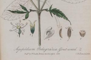English School: Curtis Botanical Magazine: Nine Plates