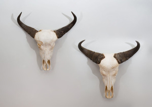 PAIR OF CAPE BUFFALO TROPHIES