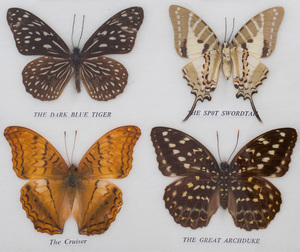 Set of Forty Butterfly Specimens