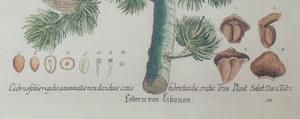 German School: Cedar van Libanon; and Die Eiche