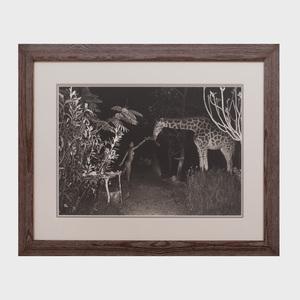 Peter Beard (b. 1938): Hog Ranch Front Lawn, Night Feeder (2:00 am) with Maureen Gallagher & Mbuno, Feb. 1987