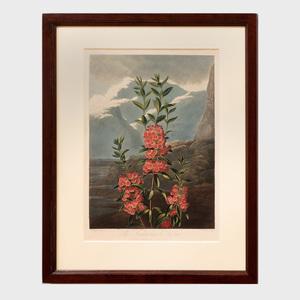 Robert John Thornton (1768-1837): The China Limodoron; and The Narrow-Leaved Kalmina